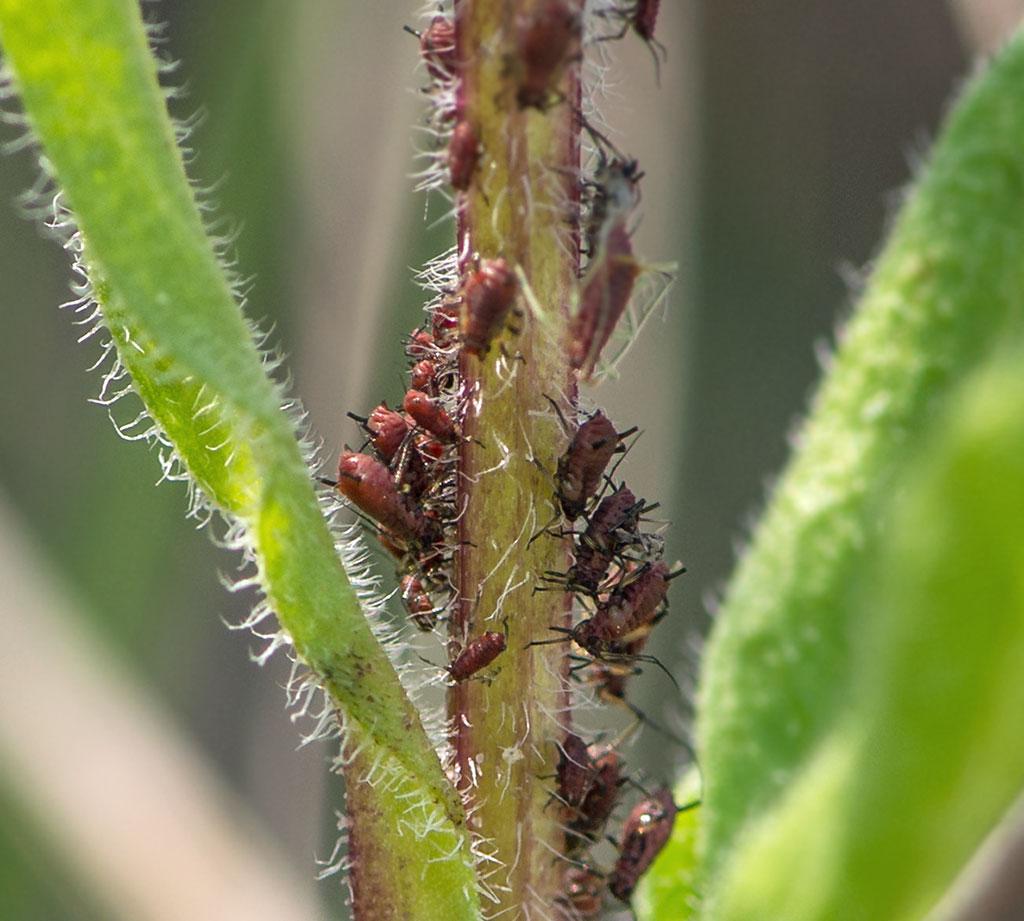 Middel mod bladlus på chili