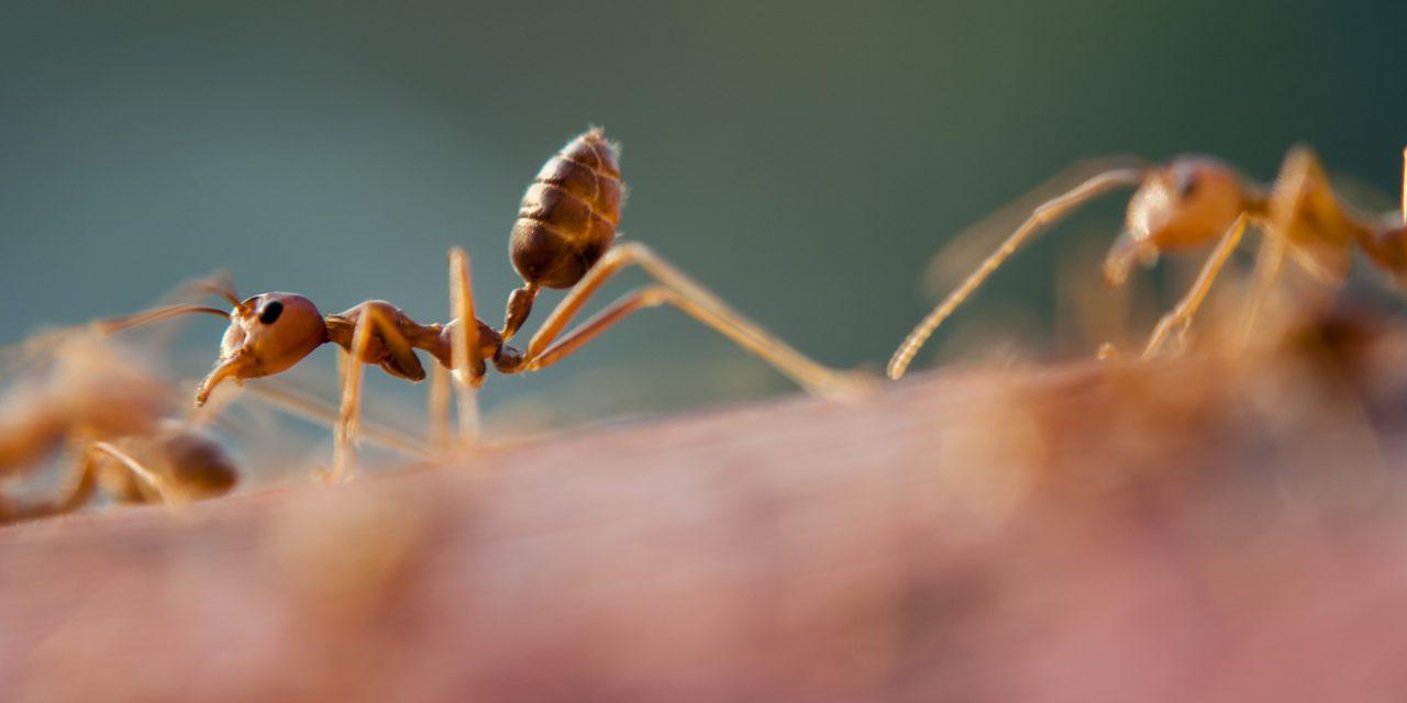 Myrebekæmpelse – Sådan slipper du af med dem!